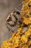Лишайники, паук скакун.