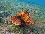 Как правило, Крылатка- Зебра выбирает место охоты на достаточно большой глубине, в разноцветных кораллах, в расщелинах, где можно удобно спрятаться.Эта же Красавица грациозно парила на мелководье, над ярко- зеленой травкой, ничуть не заботясь о маскировке.Крылатка- Зебра, Красное море