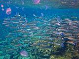 Бахромчатогубая Кефаль, Ушастая МедузаКрасное море