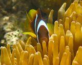 Амфиприон в Актинии. Размер Рыбки 6- 7 смКрасное море