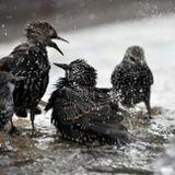 птицы купание брызги скворцы