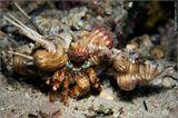 Морские раки-отшельники - хищники и трупоеды. Питаются кольчатыми червями, моллюсками, иглокожими, другими ракообразными, останками погибшей рыбы.Часто раки-отшельники помещают на свою раковину актиний, которые служат им средством защиты от врагов, так как являются ядовитыми. Актинии получают доступ к остаткам пищи раков и такое сожительство можно считать ярким примером взаимовыгодного симбиоза.