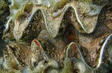 Гигантская Тигровая Тридакна (http://www.lensart.ru/picture-pid-5008c.htm) Красное море