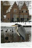 Обычно серые цапли улетают из Голландии на зимовку в теплые страны. А эта решила остаться. Вот и мерзнет теперь.Серая цапля, Ardea cinerea, зима, Нидерланды