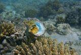 Моллюск спрятан в раковине во время питания водорослями, и лишь щупальца и нитевидные отростки мантии видны из- под ее края.Раковина закрыта тонкой, роговой, спирально растущей крышечкой. Обитает на твердых субстратах рифовых отмелей Красного моря.