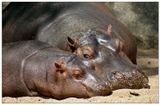 animals,sleep,dream,hippopotamus,zoo,prague,сон,гиппопотам,бегемот,сафари,зоопаркСухопутный кит или нильские лошади - так иногда называют гиппопотамов(они же бегемоты).Прага.2012