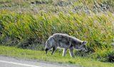 Койот - луговой волк