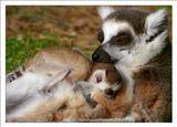 Кошачьи лемуры.Сафари.Израиль.2011Лемуры очень заботливые и ласковые родители.