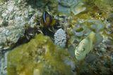 Амфиприон в Актинии, Рыба- ЛасточкаКрасное море