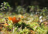 Лисичка. Прогулка по осеннему лесу в чудесную солнечную погоду. Октябрь 2012.