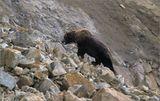Мы мирно рыбачили на берегу реки когда на нас сверху обрушились маленький камнепад: по обрывистому склону большими прыжками скакал крупный медведь.  Издали доносился злобный лай охотничьих собак, скоро показались и сами преследователи...