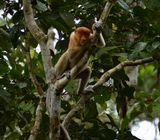 Малайзия. Остров Борнео. Обезьяны Proboscis в естественной среде обитания.