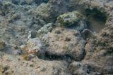 Господа, на фотографии ТРИ рыбки с разными цветовыми оттенкамиДьявольский Скорпенопсис, Красное море