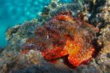 """Скорпена стала такого огненно- красного цвета после десяти минут фото- сессии.Рыба на глазах меняла цвет, """"наливаясь"""" огнем ненависти и раздражения...а вначале была вот такой: http://www.lensart.ru/picture-pid-570d1.htm?ps=11Дьявольский Скорпенопсис, Красное море"""