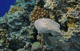 Индо- Тихоокеанский Электрический СкатКрасное море