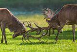 Гон начинается осенью В период гона возможны драки между самцами, благодаря которым животные устанавливают первенство. Соперники сталкиваются рогами, пытаясь сбить с ног друг друга. Более слабые самцы быстро покидают поле боя. Узнать, сильный самец или слабый, можно не только по внешнему виду, но даже по голосу. У сильного и более опытного оленя голос хриплый и низкий, а у молодого и слабого — более высокий и чистый.