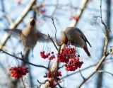 Мороз,город,птицы,свиристели,фотоохота