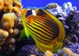 Полосатая Рыба- Бабочка, размер Рыбки 7-8 смКрасное море