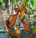 Эффектный кувшиночник относится к роду Непентес (Nepenthes). Произрастают они в тропиках. Разнообразные непентесы живут на островах Калимантан, Суматра, Мадагаскар, на Сейшельских и Филиппинских островах, на полуострове Индокитай, в Новой Гвинее, в тропической Австралии. Непентесы — насекомоядные кустарники, полукустарники, лианы разной высоты с очередными ланцетными или продолговатыми листьями.