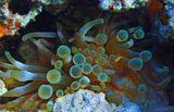 Амфиприон в Актинии. Размер Рыбки ~ 1 см.Возможно, здесь родители Малыша:   :)))http://www.lensart.ru/picture-pid-34dc5.htmКрасное море