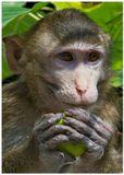 обезьяна вьетнам