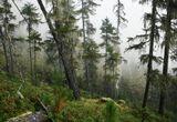 утро лес склон туман, мох на деревьях