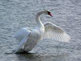Лебедь, машущий крыльями