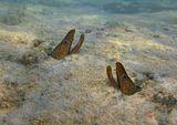 Волнистая Мурена- обитатель коралловых рифов, вырастает до 140 см, питается мелкими рыбами и беспозвоночными.  Красное море