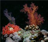 "Мягкие кораллы. Розовая лента - это икра голожаберника ""Испанский танцор"". Красное Море, острова ""Brothers"""