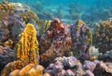 Осьминог уютно устроился между двух Огненных Кораллов,приняв форму, а потом и окрас под стать...Осьминог, Красное море