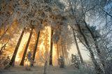 зима,утро,рассвет,солнце,сосны,иней,снег