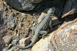 Длина взрослых особей достигает 45-47 сантиметров