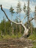 старое сухое дерево на фоне развалившегося финского трамплина
