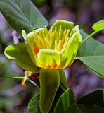 Лириодендрон, или Тюльпанное дерево — олиготипный род цветковых растений семейства Магнолиевые.