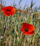 Каждый год в конце мая, начале июня поля Крыма украшают маки