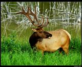 * * *В мифологии образ оленя связан с Древом Жизни из-за сходства оленьих рогов с ветвями.* * *Благородный олень (Cervus elaphus) - у берега озера Тальбот, Национальный парк Джаспер, Канада