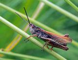 макро,природа,лето,насекомые,кузнечик