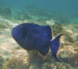 """Существует насколько разных предположений, почему Ярко- синяя Рыба названа Коричневой.Может быть, """"в честь"""" молодых особей, имеющих коричнево-желтую окраску.Ведь только с возрастом они становятся ярко-синими.А может быть, это ошибочный перевод... по-английски Его имя звучит Вlue triggerfish(Pseudobalistes fuscus)Еще говорят, что когда эту Рыбу вылавливают рыбаки, то без воды Она становится коричневого цвета...Красное море"""