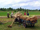 фотографировала в Камбодже в Июне, все население поголовно сажает рис.