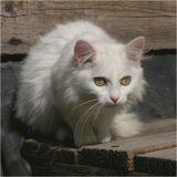Ах, - сказала Кошка, слушая их разговор, - что за глупец этот Пес!