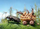 Муравейник - удобное убежище. Там под защитой муравьёв проживает несметное множество разных букашек. Это тли, щитовки, большие жучилы и юркие жучки, клопы, мокрицы - сотни видов квартирантов, находящихся в разной степени сотрудничества (симбиоза) с хозяевами....Возможно опять немножечко напутал - в реальной жизни сотрудничество ребят с жужелицей маловероятно - проживая на одной территории они являются пищевыми конкурентами. Однако агрессивно реагируют на жука только охранники и охотники, а сборщики пади - нет, так что такая муравьиная история вполне могла и случиться :)
