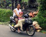 Обычная картина,когда все балийское семейство перемещается по своим делам на одном байке - глава семьи за рулем, в ногах у него необъятный пакет с покупками или собака, перед отцом сидит малыш … Понятие пешеход на Бали отсутствует.