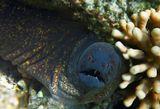 Желтопёрая Мурена. Снято на глубине пяти метров. Красное море