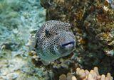 Рыбка около полуметра длинной, плыла на глубине метров пять.Звездчатый Аротрон, Красное море