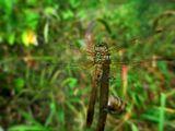 Стрекоза в моем саду, насекомые