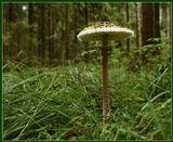 Гриб - зонтик. Как выглядит молодой, можно увидеть здесь: http://www.lensart.ru/picture-pid-51c0.htm#picture