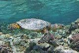 Как удивительно меняется цвет воды при разном ракурсе съемки: то ярко- синяя, сапфировая, то нежно- бирюзовая, то изумрудная...Черепаха Бисса, Красное море