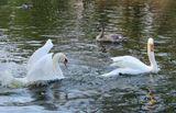 Аскания Нова, птицы, лебеди, заповедник