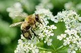 Пчела, макро, мед, цветок.