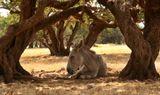 Древо жизни – так с почтением и любовью зовут арганово дерево берберы, коренные жители Марокко.